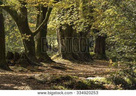 Autumn Beech Woodland Path With Large Ancient Beech Trees, Golitha Falls , Cornwall, Uk