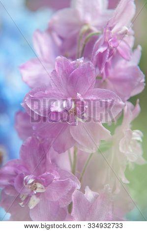 Delphinium Elatum 'mini Stars' - 'blushing Brides'