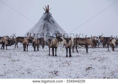 Yamal Peninsula, Siberia. A Herd Of Reindeer In Winter, Reindeers Migrate For A Best Grazing In The