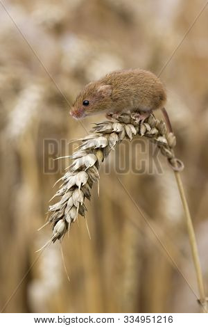 Harvest Mouse Sitting On Ear Of Corn, Cornwall, Uk