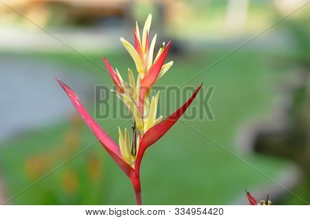 Heliconia, Heliconia Flower Or Heliconia Plant In The Garden