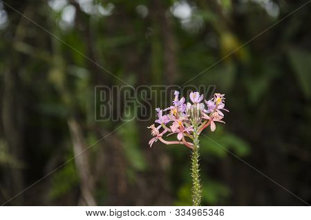 Beautiful Small Tropical Flower That Blooms In Small Clusters Of Lilac And Pink Small Flowers, In Th