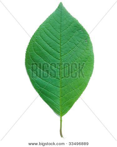 Leaf Of A Bird Cherry Tree