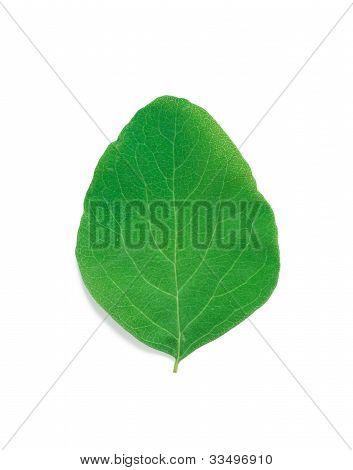 A Leaf Of A Snowberry Bush