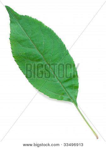 A Leaf Of An Apple Tree