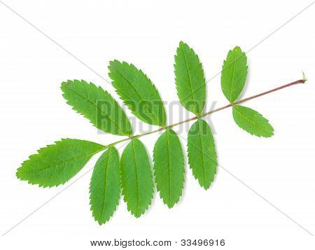 A Leaf Of A Mountain Ash