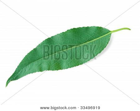 A Leaf Of A Willow