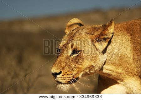 Lioness (panthera Leo) Walking In Kalahari Desert And Looking For The Rest Of Her Pride In Morning S