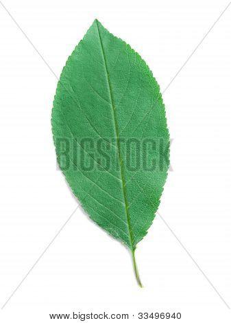 A Leaf Of A Cherry