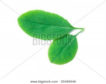 A Leaf Of A Berberis Plant