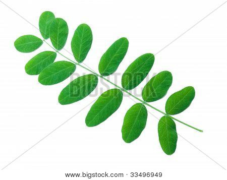 A Leaf Of An Acacia Shrub