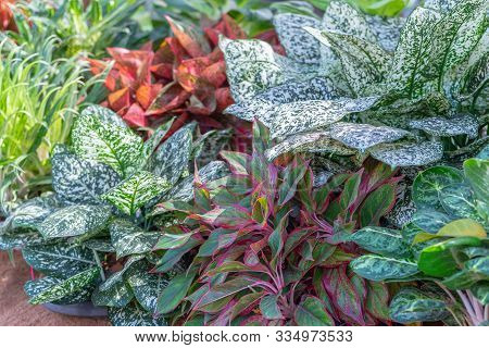 Variegated Plants. Decorative Plant With Variegated Plants. Colorful Variegated Plants. Colorful Var