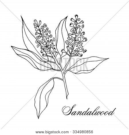Vector Hand-drawn Branch Of Sandalwood Isolated On A White Background