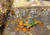 Shore crab on the rock in the natural environment poster
