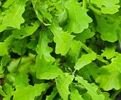 Abstract background from young green oak leaves poster