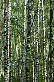 Abstract background of nice white birch trunks poster