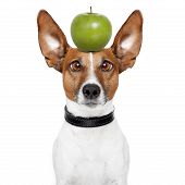 Crazy Dog With Big Lazy Eyes And An Apple poster