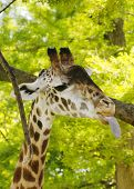 Giraffe with Tongue Sticking Out poster
