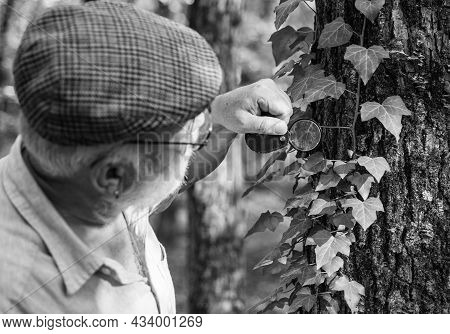 Old Man Look At Leaves With Magnifying Glass. Elderly Man Examine Tree Leaves With Magnifying Glass.