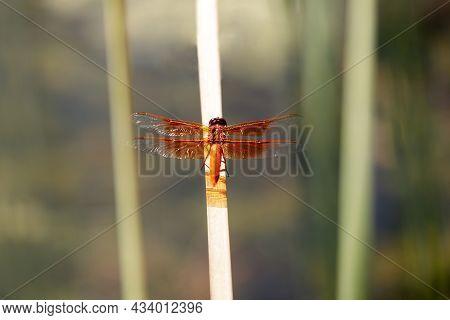 Flame (firecracker) Skimmer Resting On Water Grass. Santa Clara County, California, Usa.