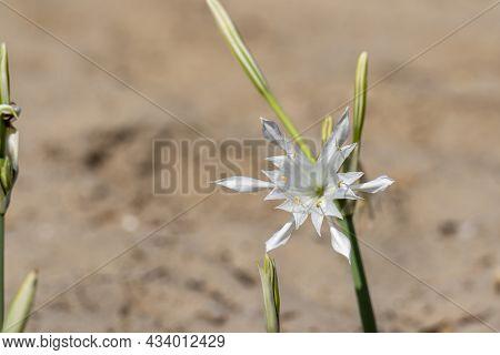 Sea Daffodil - Pancratium Maritimum Grows On Coastal Sands And It Is A Bulbous Perennial Flower. Isr