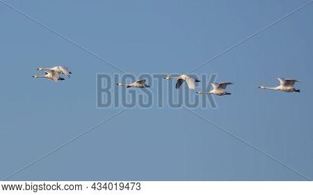 Flock Of Tundra Swans (cygnus Columbianus) Migrates In Flight On Clear Blue Spring Sky