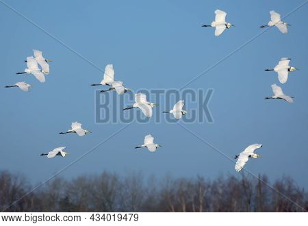 Big Flock Of Soaring Great White Egrets (ardea Alba) In Flight Over Clear Blue Sky In Spring