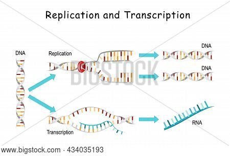 Dna Replication And Transcription. Comparisons And Differences. Replication - Producing Two Identica