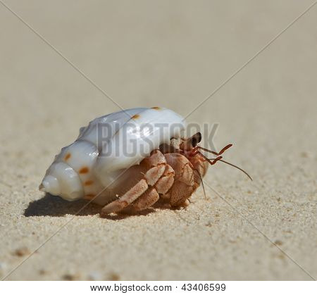 Hermit crab on a beach at Maldives poster