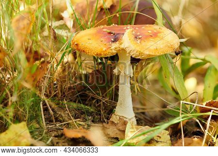 Bright Amanita Poisonous Mushroom In Fall Forest. Large Red Fly Agaric Mushroom With A Flat Wide Cap