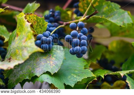 Defocus Ripe Grape Hanging Outside. A Bunch Of Ripe Blue Grapes In Close-up. Dry Green Yellow Leaves
