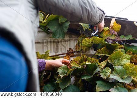 Defocus Woman Cutting Bunch Grape. Red Wine Grapes On Vine In Vineyard, Close-up Winemaker Harvestin
