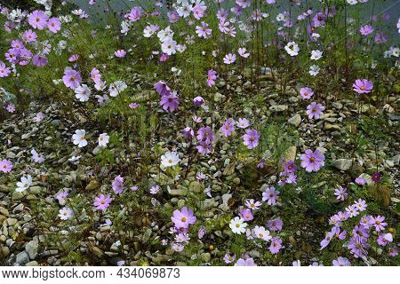 Cosmos Flower (cosmos Bipinnatus) With Blurred Background