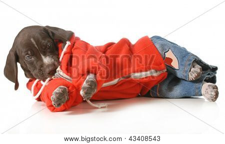 cool dog - german shorthair pointer puppy wearing jeans and a hoodie laying down isolated on white background poster