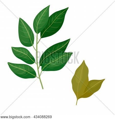Bay Leaf Branch And Dried. Vector Illustration Cpicy Herb Is Isolated On White Background.