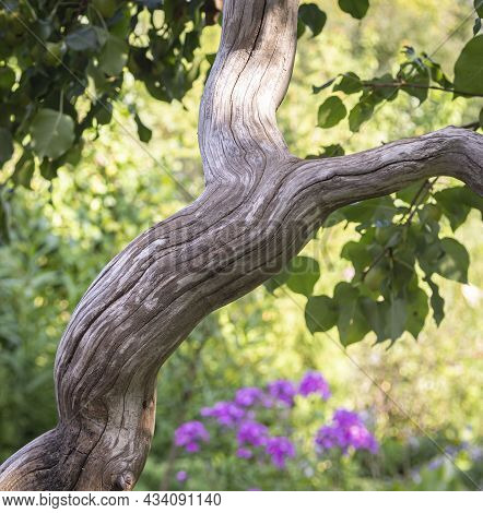 A Curved Pear Tree Trunk Daylight Colored