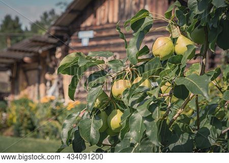 A Pears Growing On A Pear Tree