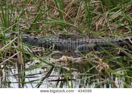 Alligator Mother & Baby