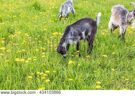 Cute Free Range Goatling On Organic Natural Eco Animal Farm Freely Grazing In Meadow Background. Dom