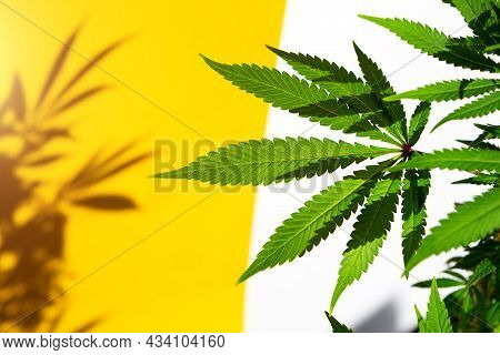 A Cannabis Bush In Bright Light With A White And Yellow Background With A Shadow. Medicinal Marijuan