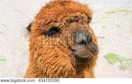 Closeup Of A Brown Fluffy Alpaca Face, Peru, South America