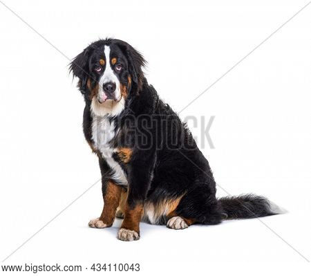 Tricolor Bernese Mountain Dog sitting, looking at camera, isolated on white