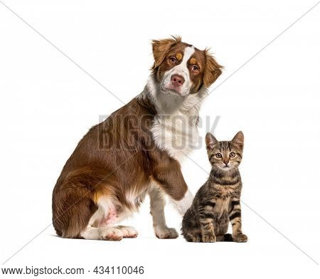 Cat and dog together in front of white background. Australian shepherd and crosse-breed cat, isolated on white