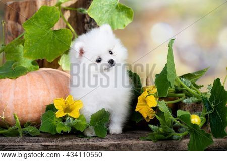 Purebred Spitz breed pomeranian, small fluffy white dog