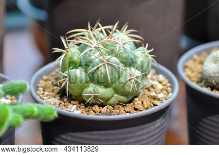 Cactus , Cactus Plant In The Flower Pot