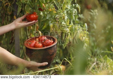 Pick Ripe Tomatoes From The Bush, Vegetables Grown At Home In The Garden. Harvesting In Autumn.