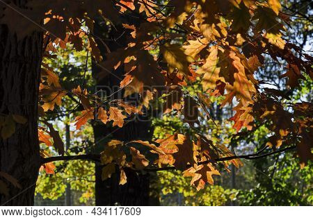 Colorful Autumn Forest With Beautiful Branched Trees With Many Yellow, Green, Red And Brown Leaves