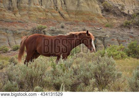 Wild Feral Chestnut Horse Wandering In A Canyon In North Dakota.