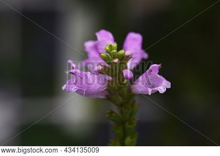 False Dragonhead Flowers. Lamiaceae Perennial Plant. The Pale Pink Lip-shaped Flowers Come In August
