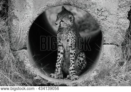 Mono Cheetah Cub In Pipe Looking Left